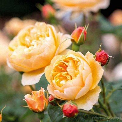 Невероятные многолетники! Розы! Клематисы! Гортензии! Пионы! — Розы Дэвида Остина — Декоративноцветущие