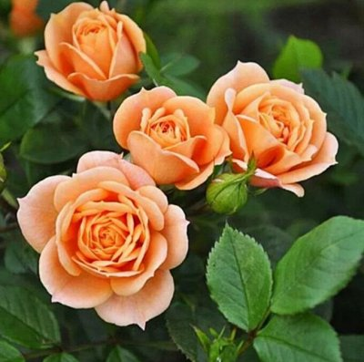 Невероятные многолетники! Розы! Клематисы! Гортензии! Пионы! — Розы миниатюрные — Декоративноцветущие