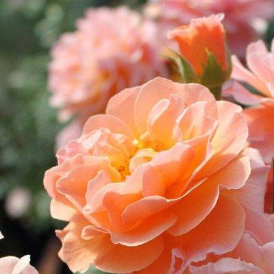 Невероятные многолетники! Розы! Клематисы! Гортензии! Пионы! — Розы парковые — Декоративноцветущие