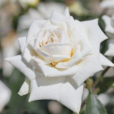 Невероятные многолетники! Розы! Клематисы! Гортензии! Пионы! — Розы плетистые — Декоративноцветущие