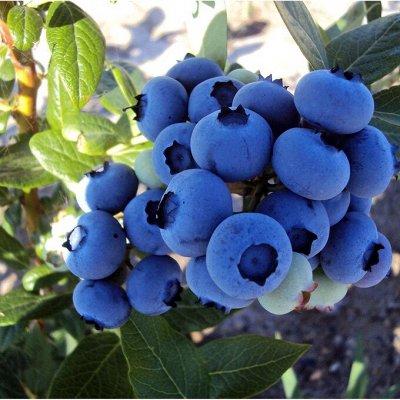 Саженцы плодовых и декоративных растений! Последняя в сезоне