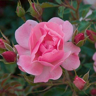 Невероятные многолетники! Розы! Клематисы! Гортензии! Пионы! — Розы почвопокровные — Декоративноцветущие