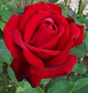 Роза флорибунда Ред Эмпаер (в тубе)