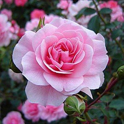 Невероятные многолетники! Розы! Клематисы! Гортензии! Пионы! — Розы флорибунда — Декоративноцветущие