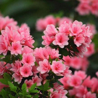 Невероятные многолетники! Розы! Клематисы! Гортензии! Пионы! — Азалия — Декоративноцветущие