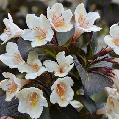 Невероятные многолетники! Розы! Клематисы! Гортензии! Пионы! — Вейгела — Декоративноцветущие