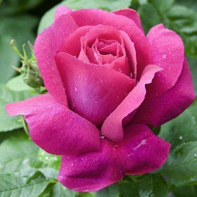 Невероятные многолетники! Розы! Клематисы! Гортензии! Пионы! — Розы чайно-гибридные — Декоративноцветущие