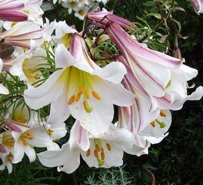 Невероятные сорта! Лилии, розы, пионы! На осеннюю посадку!  — Лилии Трубчатые — Декоративноцветущие