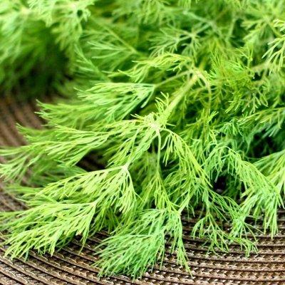 Огромная распродажа семян! +Предзаказ крутого чеснока и лука — Укроп (семена) — Семена зелени и пряных трав