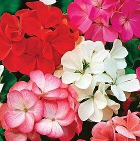 Пеларгония Палитра красок, смесь окрасок