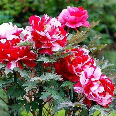 Невероятные многолетники! Розы! Клематисы! Гортензии! Пионы!