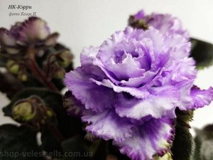НК Кэрри Крупные, махровые цветы дымчато-чернильного цвета, цветут большой шапкой. Розетка из тёмно-зелёных листьев.  Красивейший сорт!