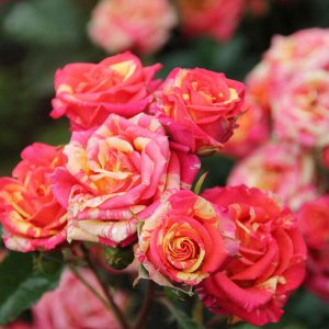 Роза спрей Персиковый Ликер ЭС