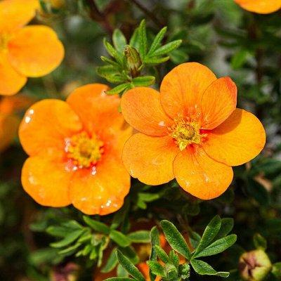 Саженцы плодовых и декоративных растений! Последняя в сезоне — Лапчатка — Декоративноцветущие
