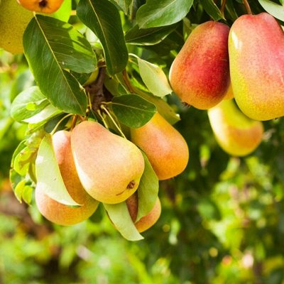 Саженцы плодовых и декоративных растений! Последняя в сезоне — Плодовые деревья 2-х лет — Плодово-ягодные