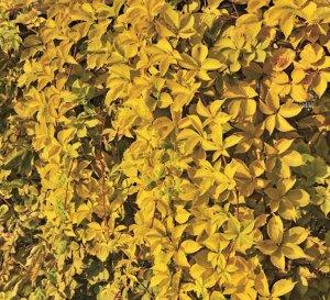 Партеноциссус Желтая стена