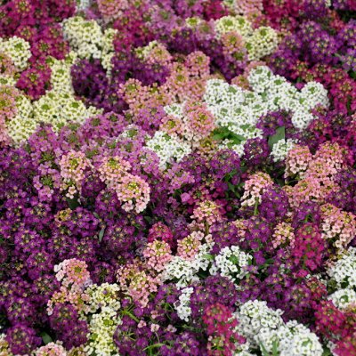 Огромная распродажа семян! +Предзаказ крутого чеснока и лука — Алиссум (семена) — Семена однолетние