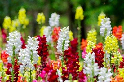 Огромная распродажа семян! +Предзаказ крутого чеснока и лука — Антирринум (семена) — Семена однолетние