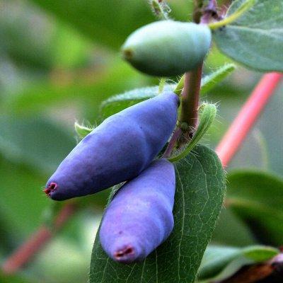 Огромная распродажа семян! +Предзаказ крутого чеснока и лука — Жимолость (саженцы) — Плодово-ягодные