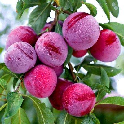 Саженцы плодовых и декоративных растений! Последняя в сезоне — Слива  — Плодово-ягодные