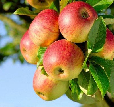 Огромная распродажа семян! +Предзаказ крутого чеснока и лука — Саженцы плодовых РАЗНОЕ — Плодово-ягодные