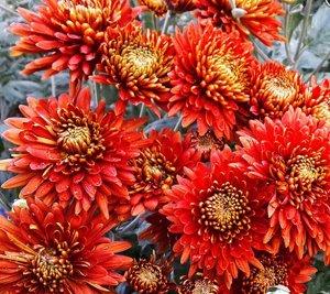 Хризантема индийская Первое сентября Бронзовая