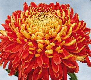 Хризантема индийская Фуджи Бронз