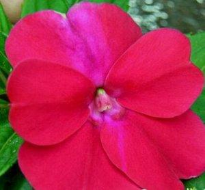 Бальзамин Карнавал темно-розовый