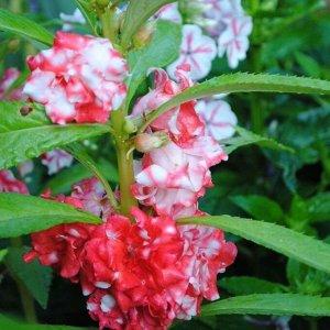 Бальзамин садовый Кармелита
