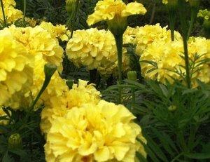Бархатцы Лимонный джем
