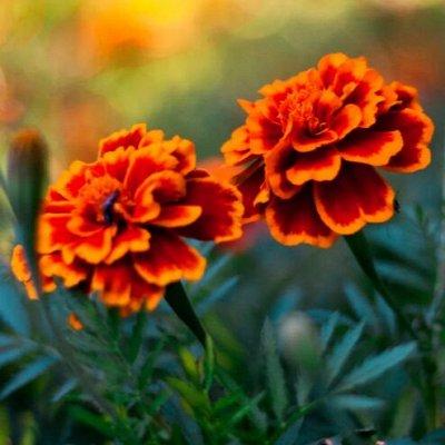 Огромная распродажа семян! +Предзаказ крутого чеснока и лука — Бархатцы (семена) — Семена однолетние