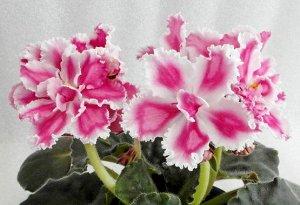 Фиалка Крупные полумахровые цветы насыщенных розовых оттенков и белая широкая кайма, часто цветы становится похож на химеру. Края лепестков зубчатые. Простые тёмно - зелёные листья.