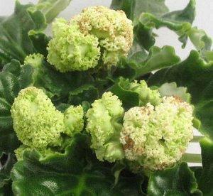 Фиалка Крупные густо–махровые белые цветы – помпоны с густым ярко – зелёным рюшем. Светло – зелёная волнистая листва.