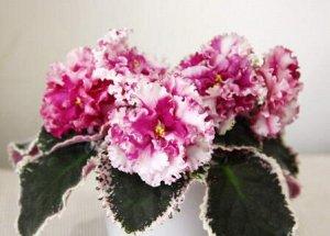 Фиалка Достаточно крупные полумахровые белые цветы с вариабельными всполохами и отметинами вишнёвого цвета с гофрированными краями. В более прохладных условиях местами с зеленоватой каймой. Розетка ст