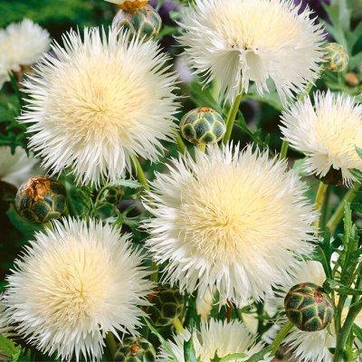 Огромная распродажа семян! +Предзаказ крутого чеснока и лука — Василек (семена) — Семена однолетние
