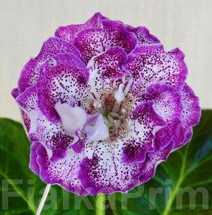 Глоксиния Очень крупный цветок.