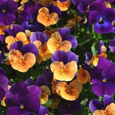 Огромная распродажа семян! +Предзаказ крутого чеснока и лука — Виола (семена) — Семена двулетние