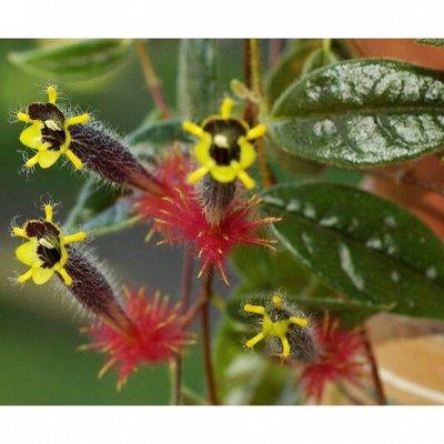 Комнатные цветы. — Колумнеи. Укоренённые черенки — Декоративноцветущие