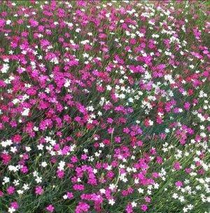 Гвоздика-травянка Канта Либра