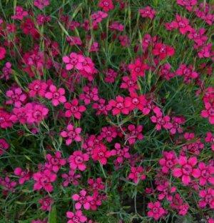 Гвоздика-травянка Самос