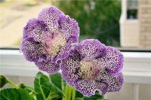 Глоксиния Императрица F1 Пурпурный Леопард
