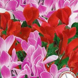 Цикламен персидский Браво, смесь окрасок
