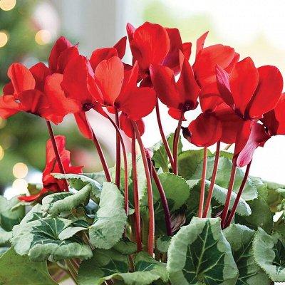 Огромная распродажа семян! +Предзаказ крутого чеснока и лука — Семена комнатных цветов — Семена декоративных трав