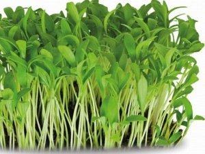 Микрозелень Кориандр овощной