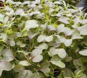 Микрозелень Капуста японская Мизуна