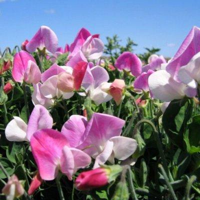 Огромная распродажа семян! +Предзаказ крутого чеснока и лука — Горошек (семена) — Семена однолетние