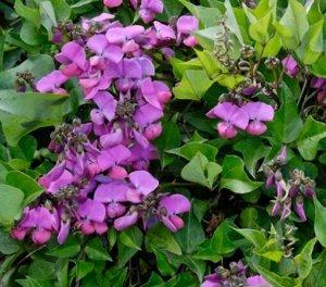 Долихос (бобы гиацинтовые) Фиолетовые гирлянды