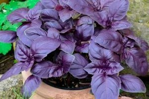 Базилик Карлик, фиолетовый