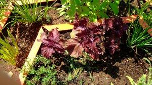 Базилик овощной Арамис