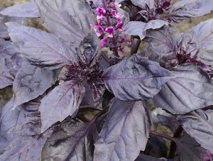 Базилик овощной Ереванский